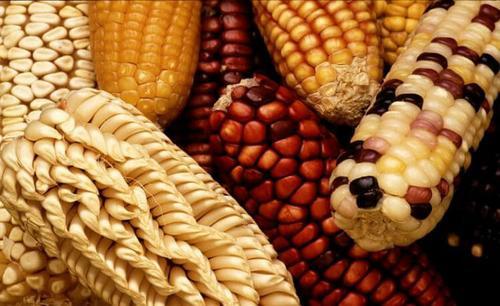 As vertentes dos alimentos transgênicos